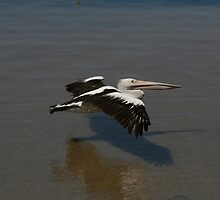 Pelican Flight by Ryan Golla