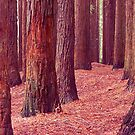 Californian Redwoods - Otway Ranges by John Barratt