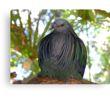 I Have A Designer Shawl - Nicobar Pigeon - South Africa Canvas Print
