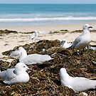 Perth Sea Gulls  by Margaret Stanton