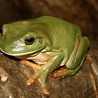 Green Tree Frog by Brett Habener