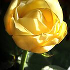 Yellow Rose by Charlotte Morison