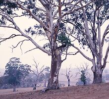 Grey Gums - Balmoral - Victoria by James Pierce
