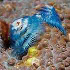 Blue Christmas Tree Worms by Douglas Stetner