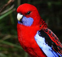 CRIMSON ROSELLA by hugo