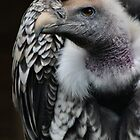 Rüppell's Griffon Vulture by Yampimon