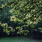 New leaves on tree Troutbeck England 198405190012 by Fred Mitchell