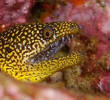 Abbott's moray eel by Douglas Stetner