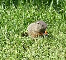 groundhog in the grass by oilersfan11
