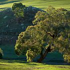 gum tree by farmboy