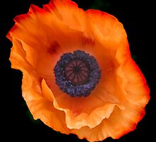 Poppy by Chris Clark