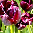 Ragged Purple Tulip by Christina Tang