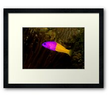 Royal Dottyback Framed Print
