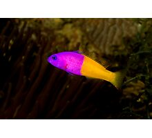 Royal Dottyback Photographic Print