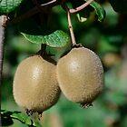 Kiwis Actinidia sinensis fruits by DebbyScott