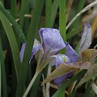 Winter Iris - Australia by goodwisj