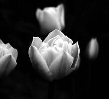 Tulips by Lori Taylor