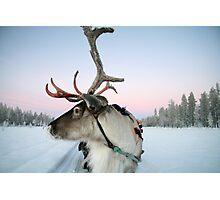 Lapland Reindeer Photographic Print
