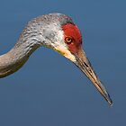 Sandhill Crane by Delores Knowles