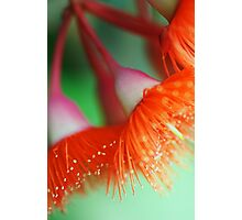 Blossom Of The Gum Photographic Print