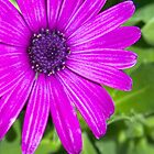Purple Daisy by Don Stott