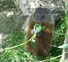 mommy groundhog eating leaves stem by oilersfan11