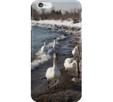 Family Walk on the Beach - Wild Trumpeter Swans, Lake Ontario, Toronto iPhone Case/Skin