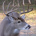 Texas Whitetail by EmmaLeigh