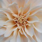 Cream Dahlia by Jen  Govey