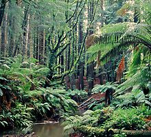 Primordial Redwoods - Cape Otway - Victoria by James Pierce