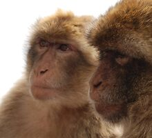 Barbary Apes by Maddie