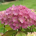 Hydrangea by Jonathan Liddle