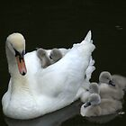 Swan and Cygnets by John Thurgood