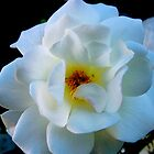 white rose by jchatoff