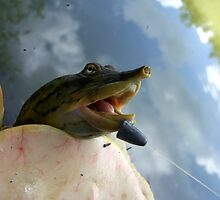 soft shelled turtle by tomcat2170