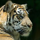 Sumatran Tiger by Mary  Lane
