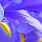 Blue Flag Iris by Mary  Lane