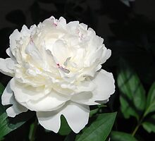 One White Peony by Kathleen Brant