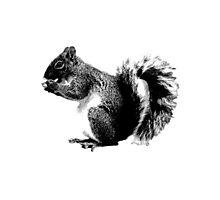 Squirrel Eating Acorns. Wildlife Digital Engraving Image Photographic Print