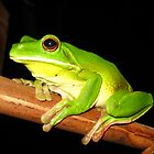 whitelip tree frog 2 - northern Queensland, Australia by Susanne Schmitz