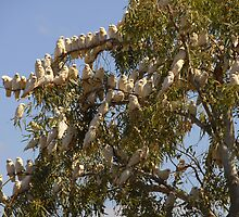 Cockatoo's In A Gum Tree by TheGratefulDad