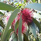 Pin cushion Hakea by Susan Moss