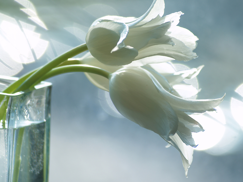 White tulips by narabia
