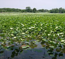 Pond lillies in the country by steelwidow