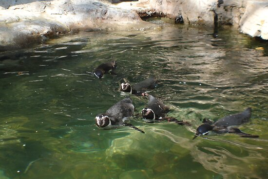 Penquins at play St Louis Zoo by candy