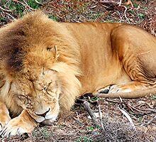 Sleeping Lion, Monarto Zoo, Sth. Aust by patapping