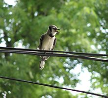 Blue Jay On A Wire by Albert Grable