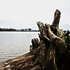 Fallen Tree at Trestle Beach by organicmindset