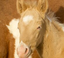 Blue Eyed Colt by Kent Keller