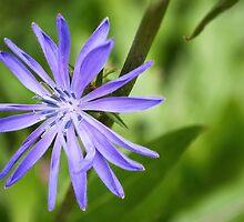 Single Purple Chicory Flower by MissDawnM